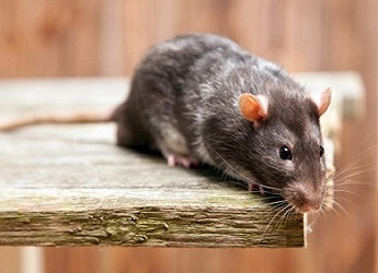 Rodent Control Dickson